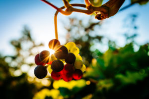 grapes on vine with sunlight filtering through the grapes