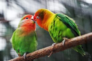 two birds with beaks together on a tree branch